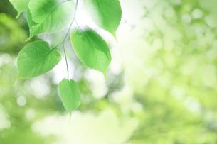 新緑の葉と木漏れ日の写真素材 [FYI00470217]