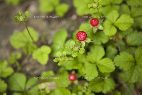 赤い実のなる植物の素材 [FYI00470264]