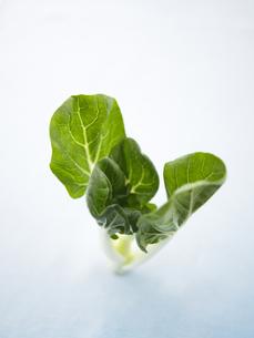 小白菜の写真素材 [FYI00470517]