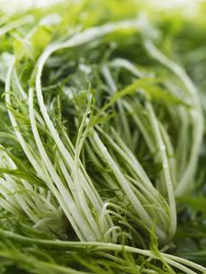 水菜の写真素材 [FYI00470563]