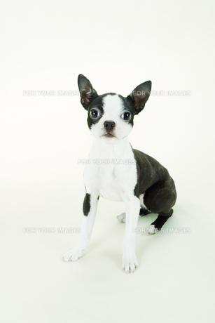 おすわりをするボストンテリアの子犬の写真素材 [FYI00471011]