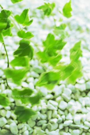 風に踊るアイビーの写真素材 [FYI00471013]