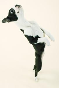 立ち上がるボストンテリアの子犬の素材 [FYI00471026]