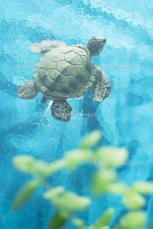 海を泳ぐ亀の写真素材 [FYI00471034]