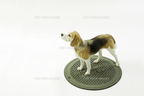 マンホールの蓋に立つビーグル犬の写真素材 [FYI00471043]