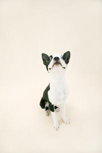 おすわりをするボストンテリアの子犬の写真素材 [FYI00471048]