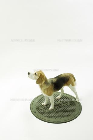 マンホールの蓋に立つビーグル犬の写真素材 [FYI00471051]