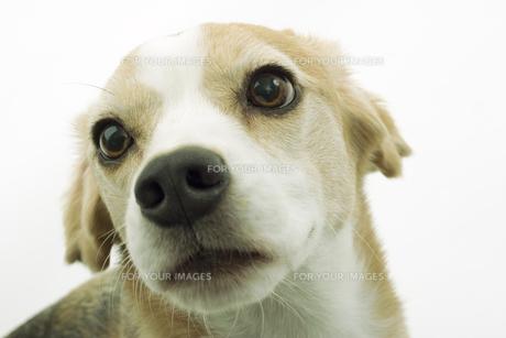 ビーグル犬の顔アップの写真素材 [FYI00471054]