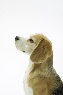 ビーグル犬の横顔の写真素材 [FYI00471055]