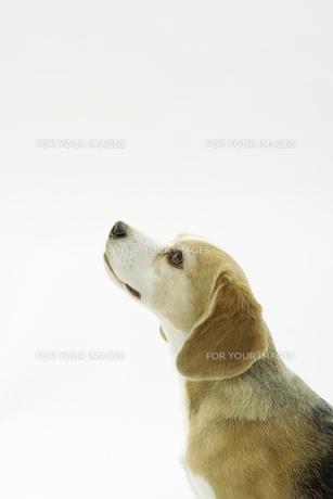ビーグル犬の横顔の写真素材 [FYI00471058]