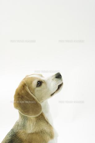 ビーグル犬の横顔の写真素材 [FYI00471061]