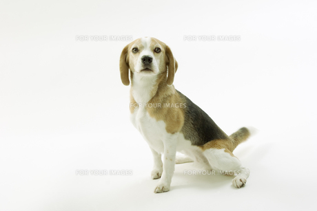 おすわりをするビーグル犬の写真素材 [FYI00471062]
