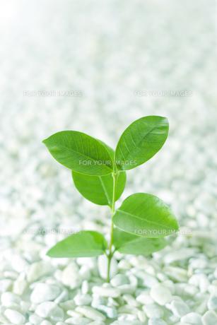 緑の若葉の写真素材 [FYI00471063]