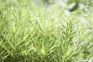 ズッキーニの葉の写真素材 [FYI00471196]