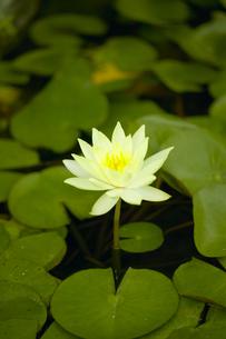 蓮の花の写真素材 [FYI00471207]