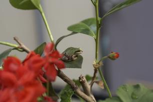 カエルの写真素材 [FYI00471214]