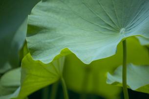 蓮の葉の写真素材 [FYI00471215]