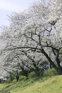 桜並木の写真素材 [FYI00471220]