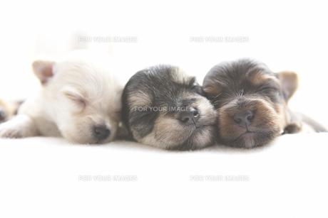 シーツの上で眠る3匹の子犬の素材 [FYI00471240]
