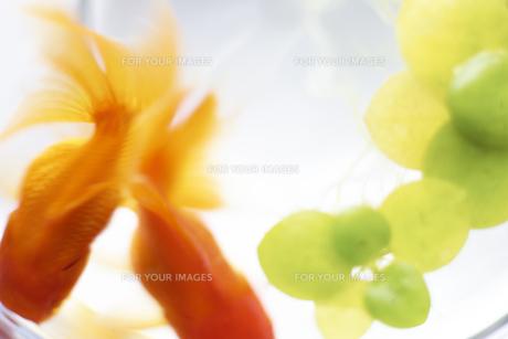 金魚の写真素材 [FYI00471457]