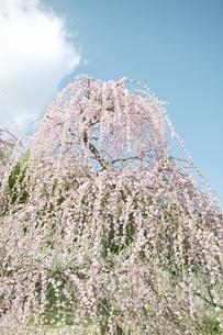 しだれ梅の写真素材 [FYI00471481]