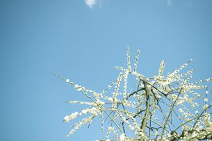 梅の写真素材 [FYI00471484]