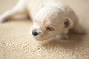 シーツの上に寝そべる子犬の写真素材 [FYI00471532]