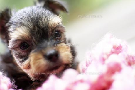 デッキに座る子犬の写真素材 [FYI00471538]