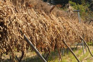 黒豆の収穫の写真素材 [FYI00472314]