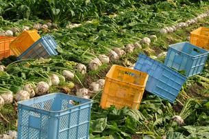 聖護院かぶらの収穫の写真素材 [FYI00472332]