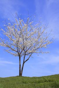 桜と空の写真素材 [FYI00472351]