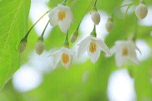 エゴノキの花の写真素材 [FYI00472362]