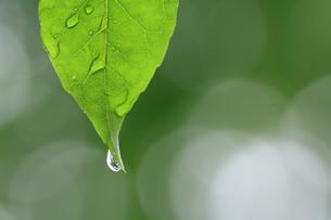水滴と葉の写真素材 [FYI00472365]