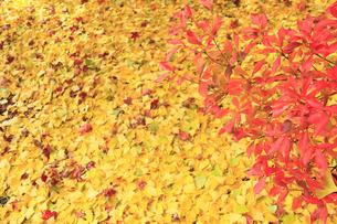 秋のツツジとイチョウの落ち葉の写真素材 [FYI00472373]