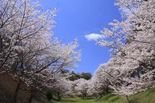 桜と空の写真素材 [FYI00472374]