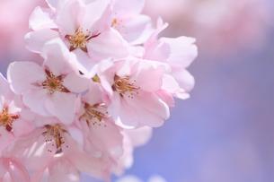 桜の写真素材 [FYI00472380]