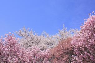 桜と空の写真素材 [FYI00472387]