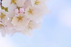 桜の写真素材 [FYI00472391]