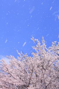 桜と空の写真素材 [FYI00472395]