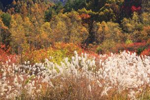 ススキと秋の木々の写真素材 [FYI00472397]