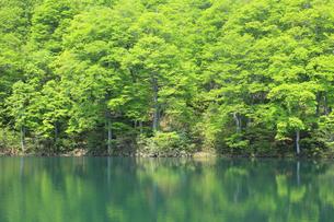 新緑のブナと池の写真素材 [FYI00472416]