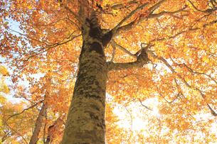 秋のブナの写真素材 [FYI00472418]