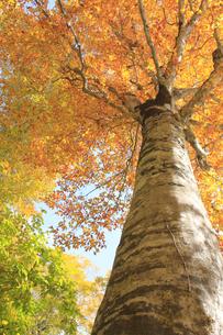 秋のブナの写真素材 [FYI00472419]