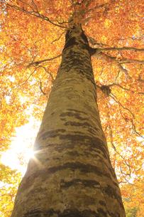秋のブナの写真素材 [FYI00472420]