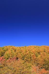秋のカラマツの写真素材 [FYI00472422]