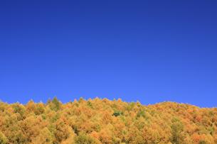 秋のカラマツの写真素材 [FYI00472445]