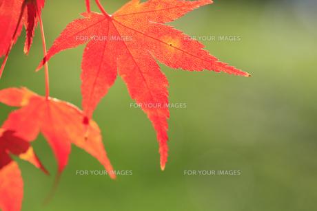 紅葉の写真素材 [FYI00472447]