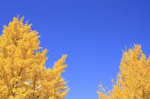 秋のイチョウの写真素材 [FYI00472454]