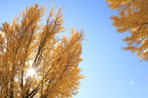 秋のイチョウの写真素材 [FYI00472459]