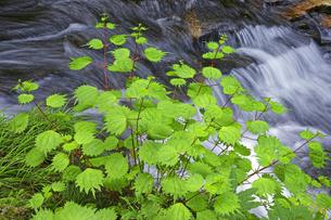 新緑と渓流 足助川上流の写真素材 [FYI00472473]